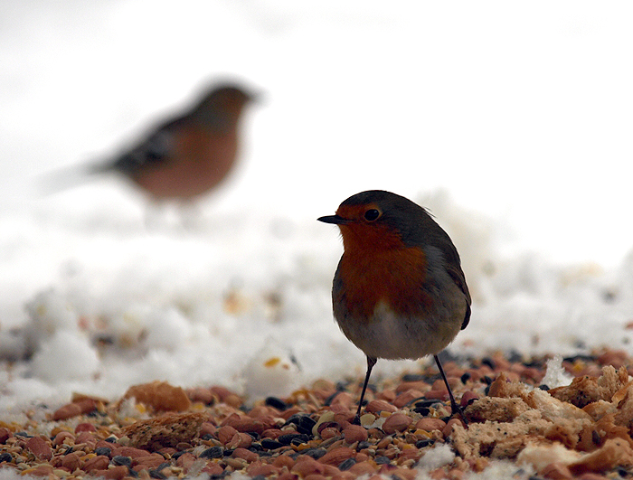 Robin and Chaffinch 2