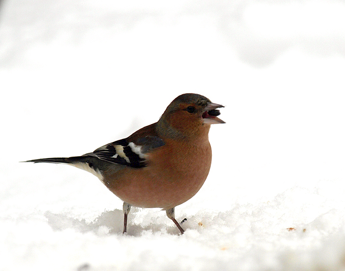 Chaffinch swallowing seed