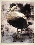 Eider Duck AP