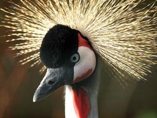 African Crane 1