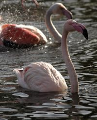 Flamingo Bathing 1