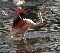 Flamingo Bathing 4