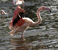 Flamingo Bathing 4