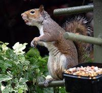 Squirrel Three