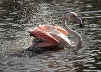 Flamingo Bathing 2