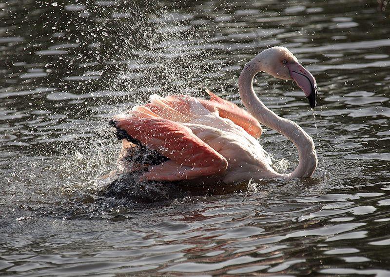 Flamingo Bathing 2