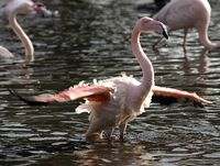 Flamingo Bathing 5