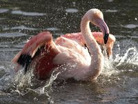 Flamingo Bathing 6