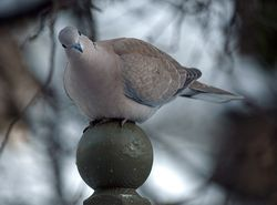 Collared Dove email
