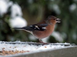 Chaffinch email
