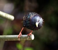 Curious starling