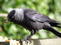Jackdaw and seed
