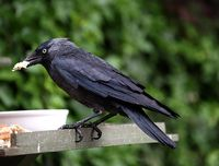 Jackdaw and bread