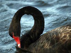 Black Swan1